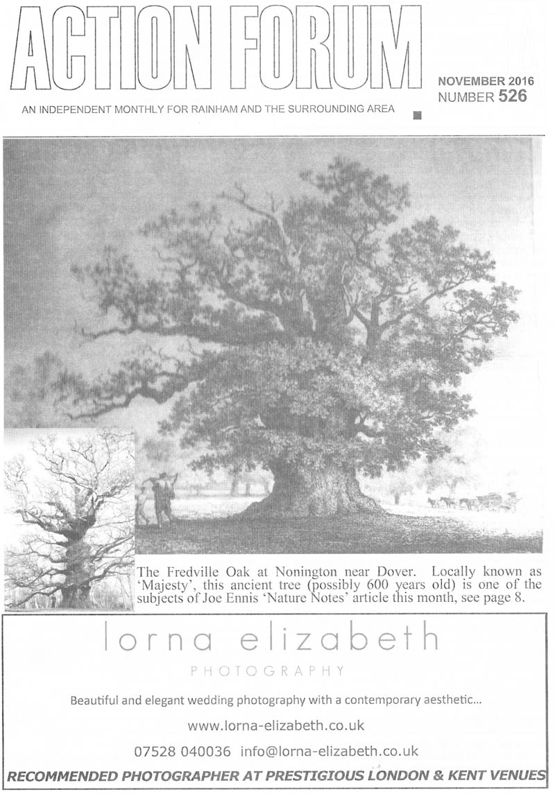 Cover photo of Cover photo of The Fredville Oak at Nonington near Dover. Locally known as